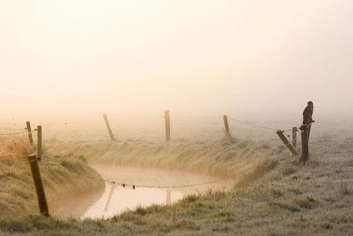 Buizerd in de mist