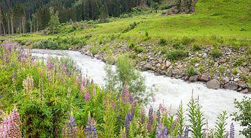 wilde lupinen op de Landquart, rivier in Graubünden van Susanne Bauernfeind