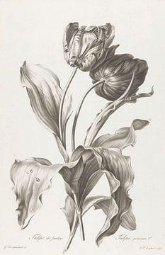 Tulpe, Pierre François Legrand, nach Gerard van Spaendonck