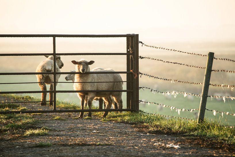 Schafe im Morgennebel von Annette Sturm