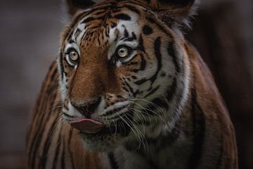 Nahaufnahme Porträt eines Tigers von Jesper Stegers