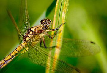 Libelle von Mario Brussé