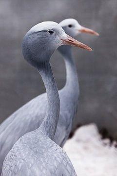 Blauer Kranich anmutiger Vogel in Nahaufnahme, dünner langer Hals, schöner Kopf auf verschwommenem H von Michael Semenov