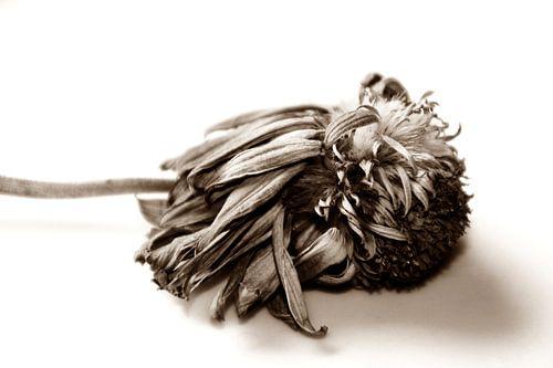 DEAD FLOWER - SEPIA