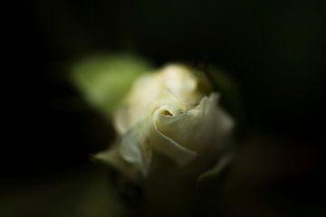 weiße Rose vor dunklem Hintergrund von Irene Lommers