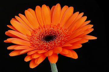 Orange Blume von Hans Levendig (lev&dig fotografie)