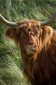 Schotse Hooglander van Marjolein Versluis