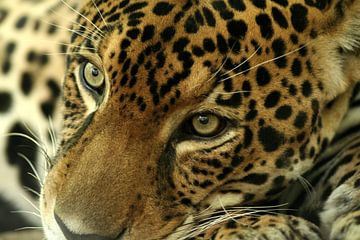 Jaguar, Costa Rica, katachtige, puma,  von Renee Algera
