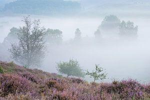 Bloeiende heide in de mist van