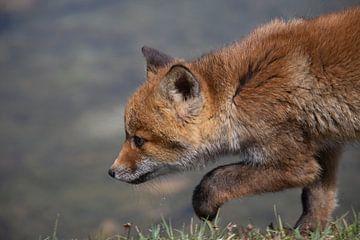Fuchsjunges konzentriert sich auf seine Beute. von Maurice van de Waarsenburg