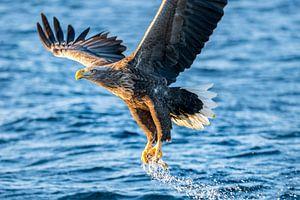 Zeearend die een vis vangt in een fjord in Noorwegen van
