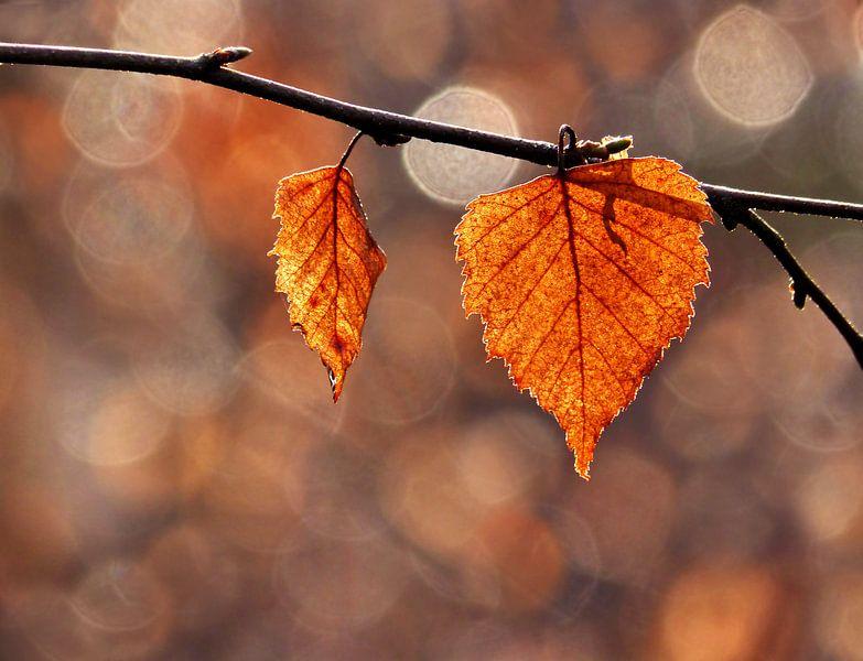 Red Leaves of a Birch (Herfstbladeren) van Caroline Lichthart