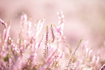 Magische zachte roze paarse heide met dauw closeup van KB Design & Photography (Karen Brouwer)