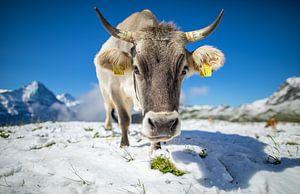 Koe in de sneeuw bij First, Zwitserland van Maurice Haak