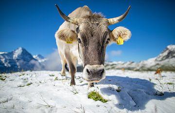 Kuh im Schnee bei First, Schweiz von Maurice Haak