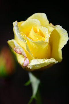 Eine gelbe Rose von Gerard de Zwaan