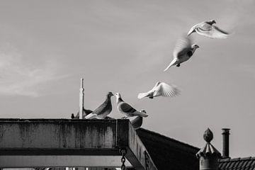 Tauben von Bert-Jan de Wagenaar