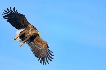 Seeadler  jagend im Himmel über einem Fjord von Sjoerd van der Wal