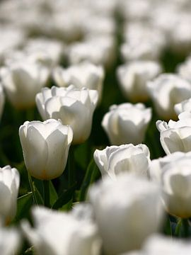 Witte tulpen von Thijs Schouten