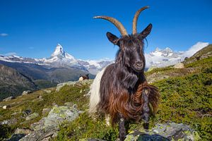 Berggeit bij de Matterhorn