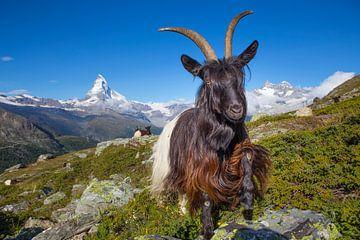 Berggeit bij de Matterhorn van