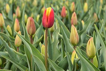 rode tulip als eerste in bloei van eric van der eijk