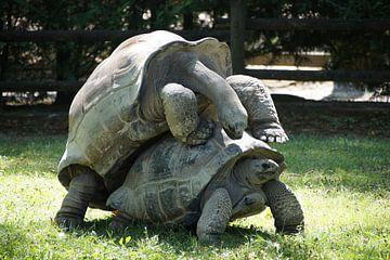 Twee schildpadden van Ronald Piters
