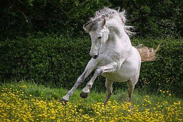 PRE Stallion sur Wybrich Warns