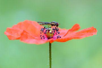 Klaproos met vlieg von Richard Guijt Photography