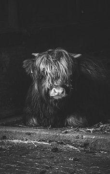 Highland Rind von lichtfuchs.fotografie