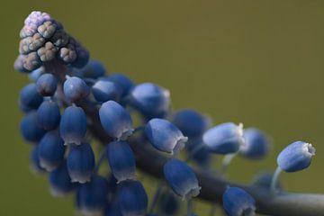 Muscari, zonlicht op het blauwe druifje van J..M de Jong-Jansen