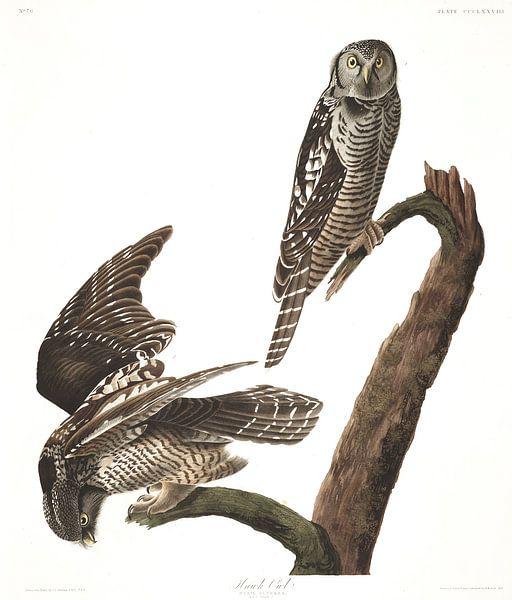 Sperweruil van Birds of America