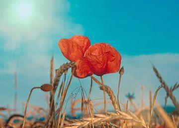 Rode maïspapaver van Claudia Evans