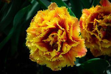 Gelb-rote Blume von Jayzon Photo