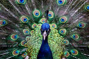 Pauw, close-up, fotografie, vogel, dierenrijk, kleurrijk van Simone van Herwijnen