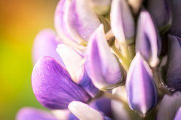 Blüte der Lupine von Jeroen Mikkers