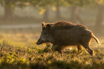Wildschwein in der goldenen Stunde von Lars Korzelius