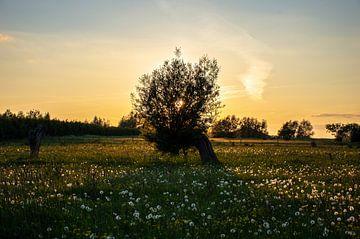 Oude wilg in een bloemenveld met de zon die onder gaat van Crea-Ti