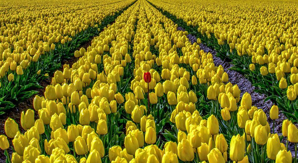 Eenzaam rode tulp tussen vele gele tulpen