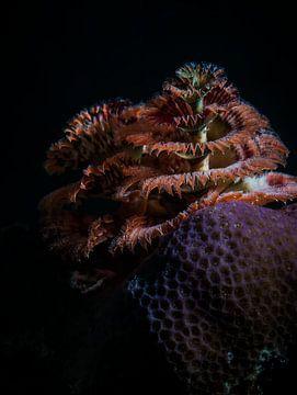 L'arbre de Noël sous-marin sur Enak Cortebeeck
