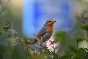 Robin in bushes