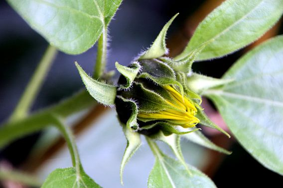 Sonnenblume van Rosi Lorz