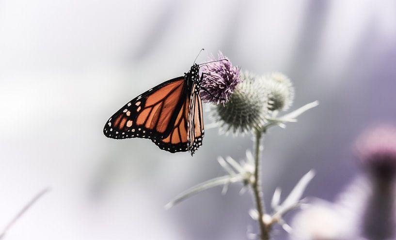 Monarch butterfly on thistle van Mark Zanderink