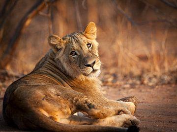 Junger Löwe in der Abendsonne (Landschaft) von YvePhotography