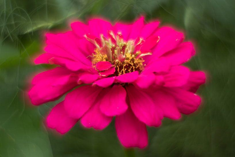 Pink van ColorsofNaturePhotography Jeanet Groenewoud