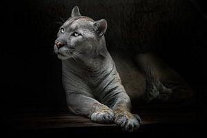 Een slanke poema kat met gelige vacht stelt een vraag met ogen die oplichten in het donker, zwarte a van Michael Semenov