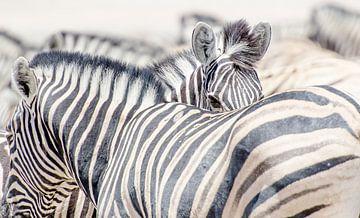 Zebra's  van Jeroen Kleverwal