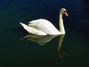 Beautiful Swan sur