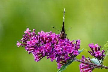 Poserende vlinder van Anjo ten Kate
