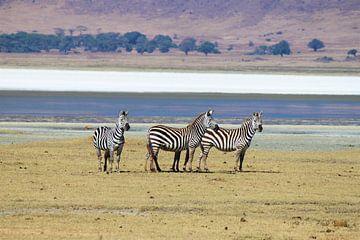 Zebras von Roger Hagelstein